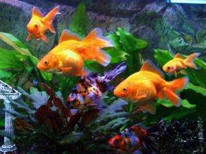 Желательность пересадки рыб перед обработкой аквариума
