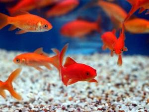 Польза риччии для нереста рыбок
