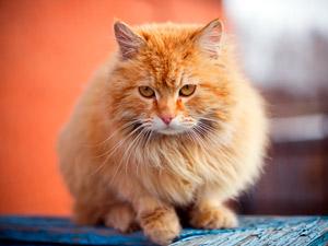 Клички для рыжих котов