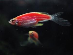 Рыбки розовый данио