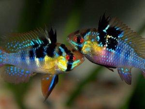 Самец и самка апистограммы бабочки
