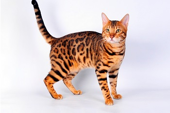 Проблема саркоптоза у кошек