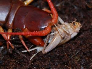 Домашние насекомые и чреви - основа питания сколопендр