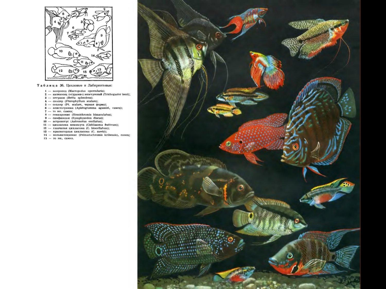 Семейство цихловых рыб