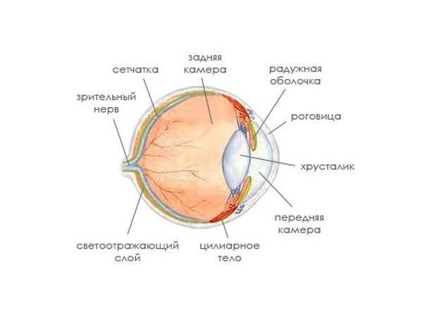Строение кошачьего глаза