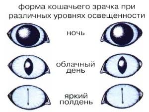 Форма кошачьего глаза при различных уровнях освещенности