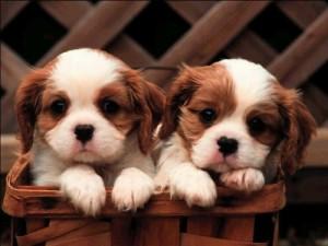Опасность заболевания энтерит у щенков