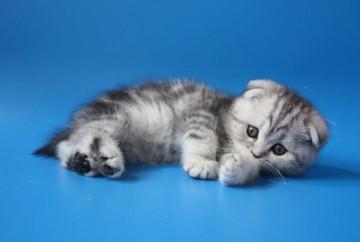 Шотландский вислоухий котенок