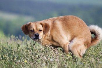 Необходимость приучения собаки к туалету