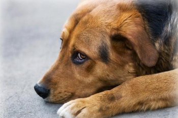 Трихофития у собак