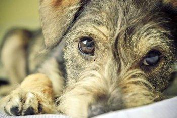 Проблема конъюнктивита у собак