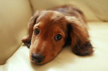 Проблема саркоптоза у собак