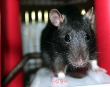Содержание крысы в домашних условиях