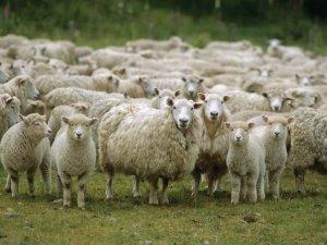 Пастушечьи способности исландской овчарки