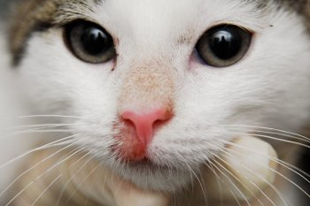 Трихофития у кошек