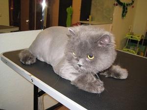 Стрижка кота в местах поражения болезни