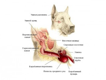 Строение уха собаки
