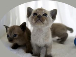 Преданность тонкинских кошек