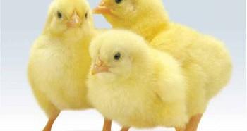 Определение пола цыплят