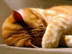 Сонливость и слабость при температуре у кота