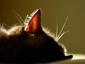 Горячие уши у питомца - повод для измерения температуры