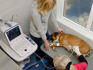 УЗИ беременной собаки