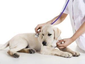 Обращение к ветеринару при появлении признаков эклампсии