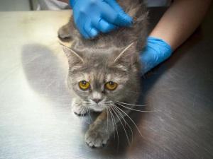 Осмотр кошки ветеринарным врачом