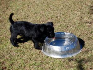 Теплая вода при икании щенка
