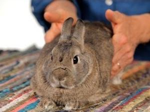 Вздутие живота у кроликов при кишечном кокцидиозе