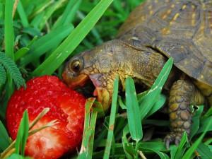 Черепахи - любители клубники