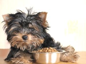 Чем кормить щенка йорка 2 месяца