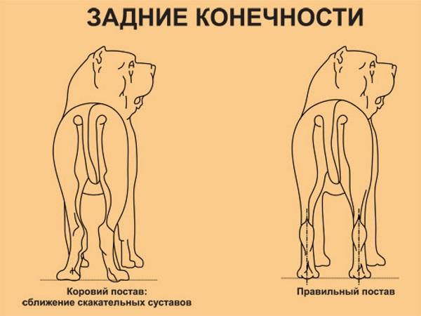 Задние конечности собаки при рахите
