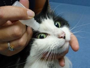Закапывание глаз кошке