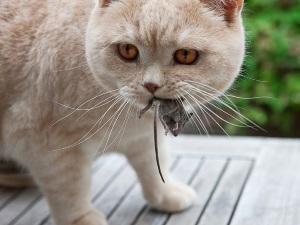 Заражение чумкой от мышей