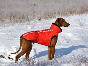 Родезийский риджбек зимой