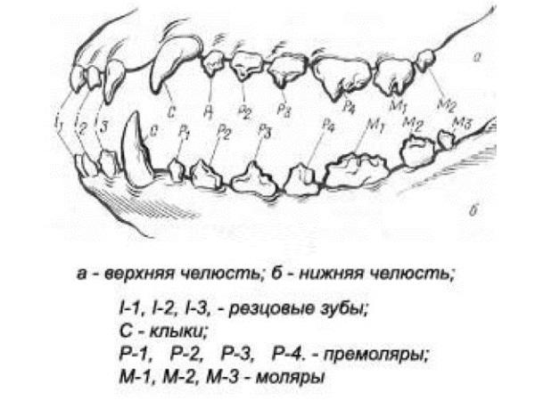 Расположение зубов у кошек