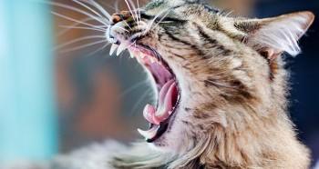 Особенности зубов у кошек