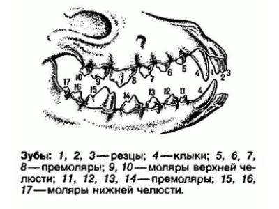 Названия зубов у собак