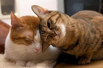 Ласковые кошачьи породы