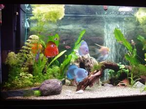 Выбор аквариума и соседство дискусов с другими рыбками