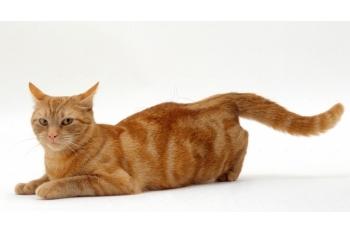 Период течки у кошек