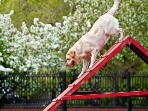 Тренировка лабрадора на специальной площадке для собак